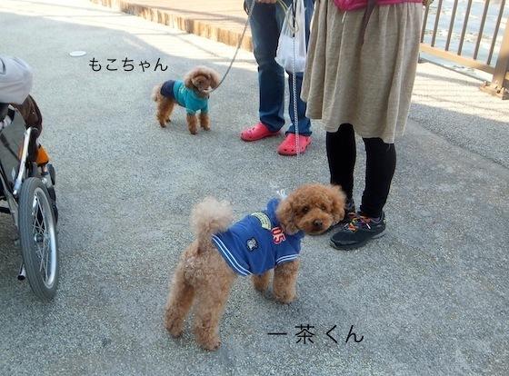 わんちゃん散歩中・トイプードルの一茶くん(5才)とモコちゃん(6才)